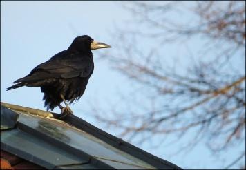 ... och på taket råkade det sitta en råka.