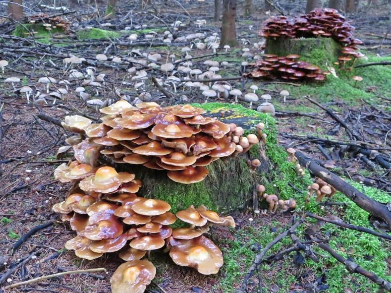 Mycket svamp! de bruna heter förändelig tofsskivling och är en bra matsvamp - dessa är lite för gamla...