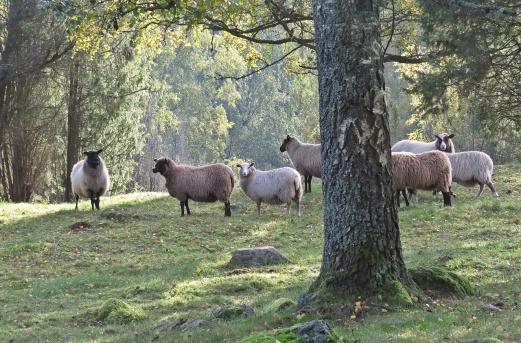 ... gick förbi fårhagen ...