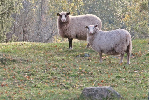 """... nyfiket betraktad av """"fårskallarna""""."""