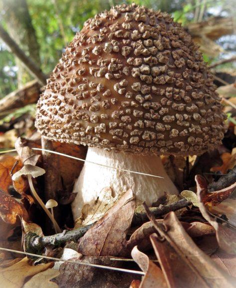 Rodnande flugsvamp - anses inte som matsvamp hos oss, men är omtyckt i Tyskland.