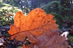 Ett ganska blekt eklöv fick färg av solens strålar...