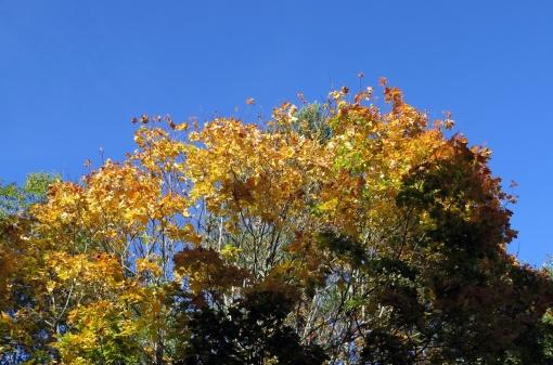 Blå himmel och löv som lyser som guld...