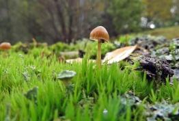 inte många svampar där inte ... men några små, som en liten galerina i mossan på en stubbe.