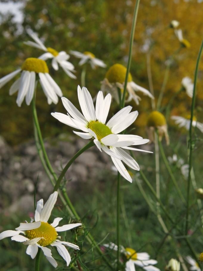 Inte många blommor i hagen nu - bara baldersbrå.