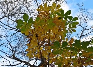 Kastanjens stora blad gulnar och faller snart.