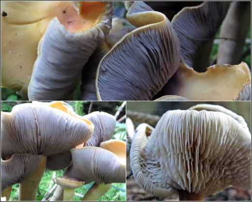 Knasiga svampar ... rökslöjskivlingar och en mörk nagelskivling som blivit lite tokiga!