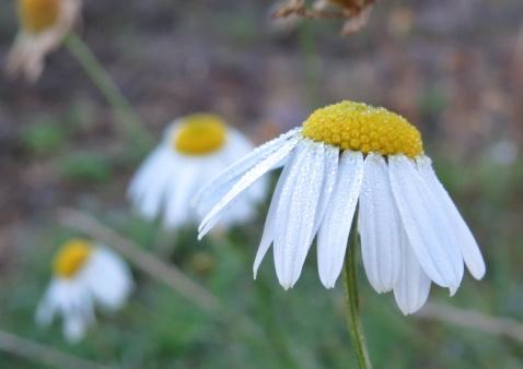 baldersbrå är en envis växt och tål många minusgrader.