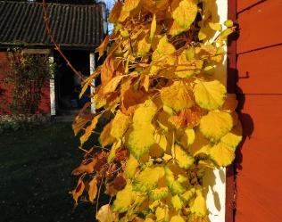 Klätterhortensians löv sitter kvar och lyser som guld.