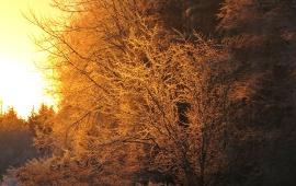 ... och träden lyste som guld.