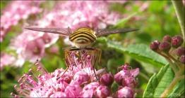 En randig blomfluga ...