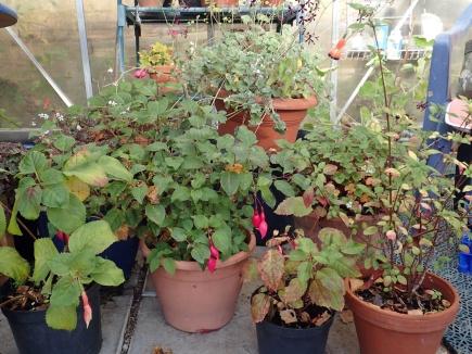 """fuchsior och pelargoner fick först mellanlanda i växthuset, men är nu förflyttade till """"Överhuset"""""""