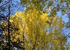 trädens löv ändrar färg ... gult ...