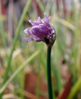 Gräslöken har skjutit nya gröna blad, men bara en blomma.