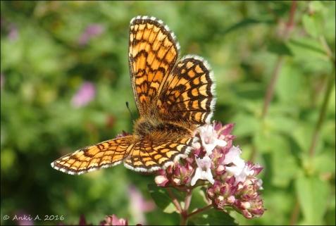 ... och en fint mönstrad fjäril (jag tror det är någon av nätfjärilarna)