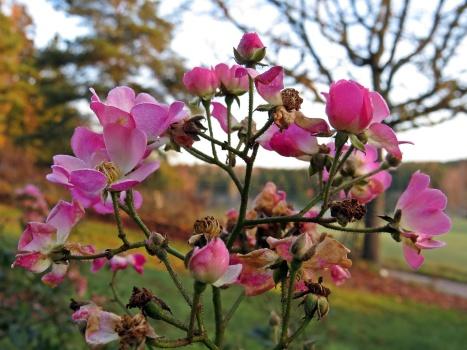 Den här rosbusken ger inte upp förrän det blir riktigt kallt.