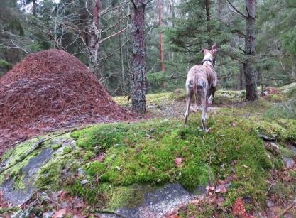 Vi hittade en stor myrstack idag :)