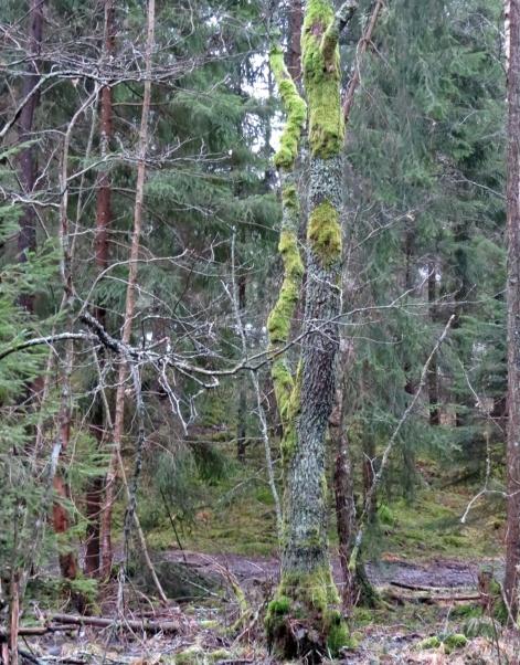 Den gamla trädstammen i kärret lyser upp med sin mossbeklädnad ...