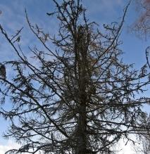 Det gamla lärkträdet ser lite spöklikt ut med sina spretiga grenar