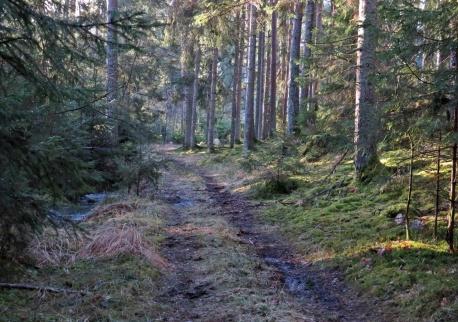 28 januari. Snart är den här skogsvägen kanske ett minne blott ...