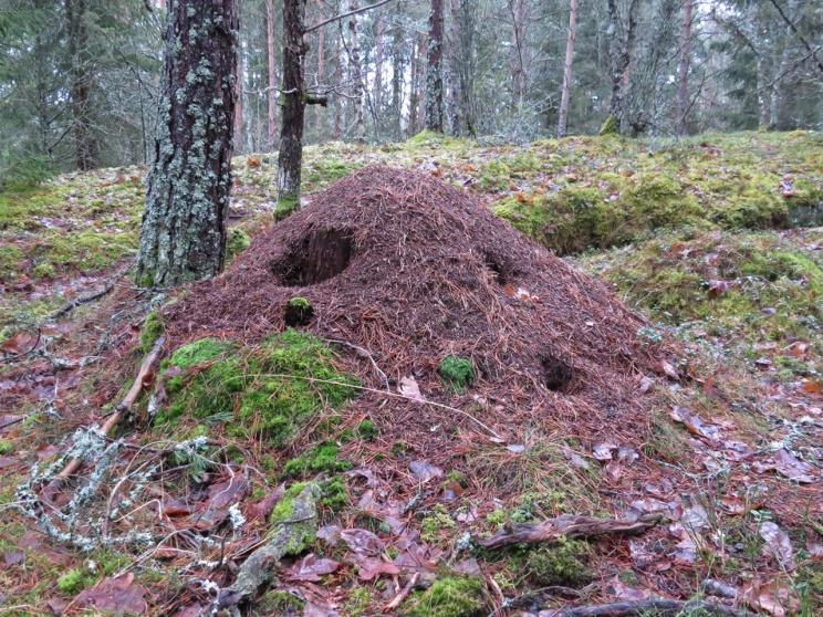 Myrstack som haft besök - kanske av spillkråkan.