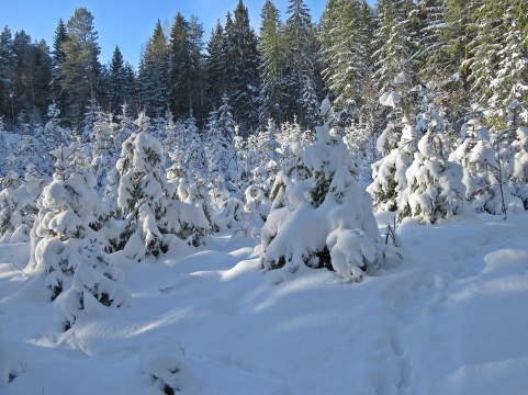 Mycket snö på smågranarna.