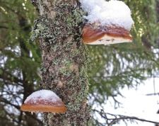 Björktickor med snöhatt :)