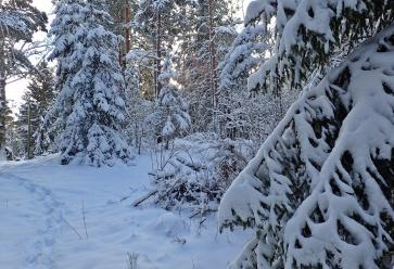 Vackert med de snötyngda granarna ...