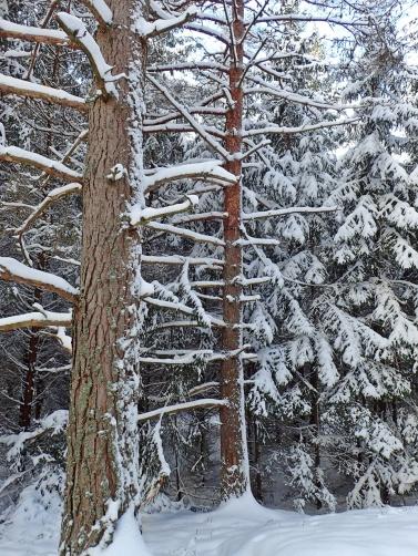 ... och fint med de kala grenarna med snö på ...