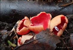 De vackra scharlakansskålarna.