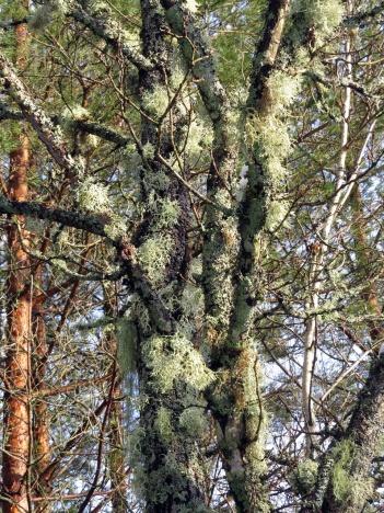 fullt med slånlav i trädet