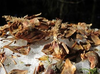Här har ekorren kalasat på grankottar ...
