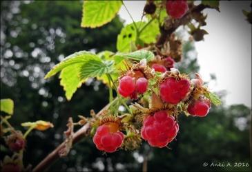 Hallon är också ett så kallat fruktförband, bestående av en mängd små stenfrukter.