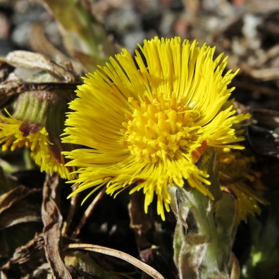 12 april, tussilago