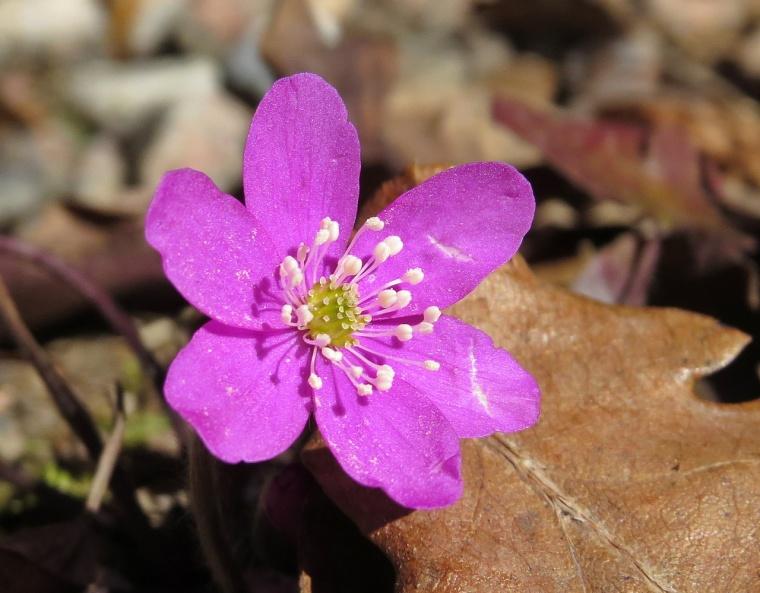 Den rosa/ röda blåsippan som valt att växa i gårdsgruset - och inte vill alls i rabatten...