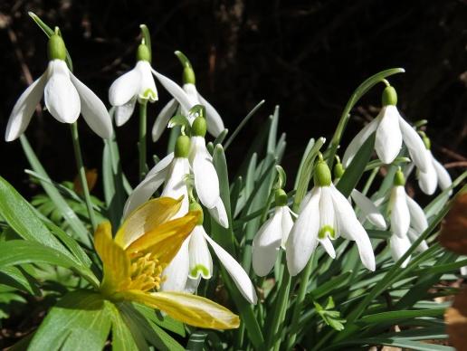 Vintergäcken är överblommad, men snödropparna blommar fint.