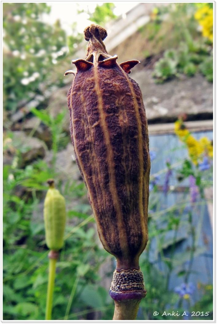 Inuti vallmons frökapsel finns massor med små frön ...