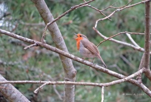 17 april - rödhaken sjunger.