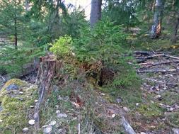 Den gamla stubben som fungerar som barnkammare till flera nya plantor, både granar och en liten tallplanta ...