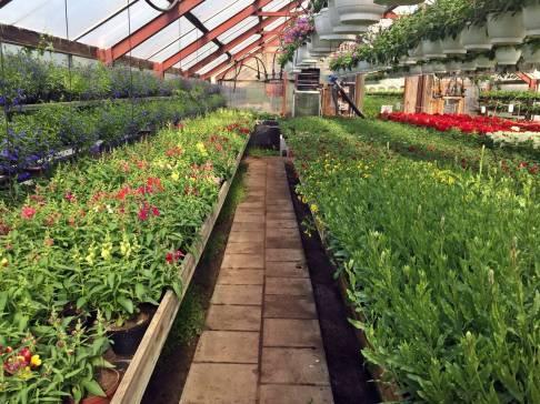 Alla tre växthusen alldeles fyllda med sommarblommor.