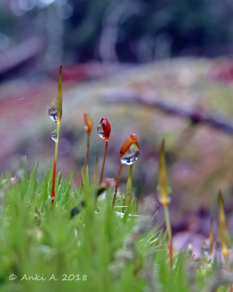En liten mossa med småmsporgömmen ... och små regndroppar
