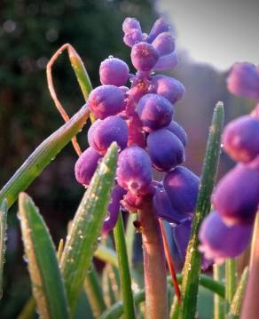 Pärlhyacinter, i ljuset av solen som gick upp strax innan ...