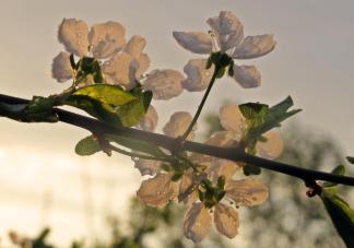 Plommonträdet blommar ...