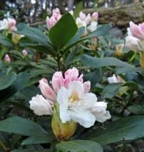 Rhododendron på väg att slå ut ...