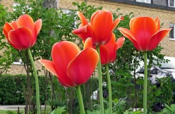 19 maj, Söderköping. Enormt stora och fina tulpaner!