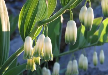 22 maj, Arkösund. Getramsen blommade fint.