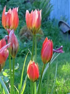De allra sista tulpanerna sjunger på sista versen ...