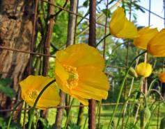 Sibiriska vallmon ... kortvarig men intensiv blomning - och sprider sig gärna ;)