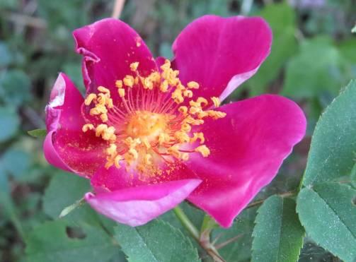 ... och den lilla rosbusken som jag inte vet vad den heter ... men med så vackra blommor ...