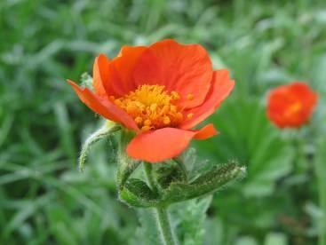 Nejlikroten börjar också blomma nu - jag gillar den glada färgen!